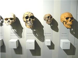 Vom Heidelberger zum Homo Sapiens. Der Neandertaler hatte das größte Gehirn.